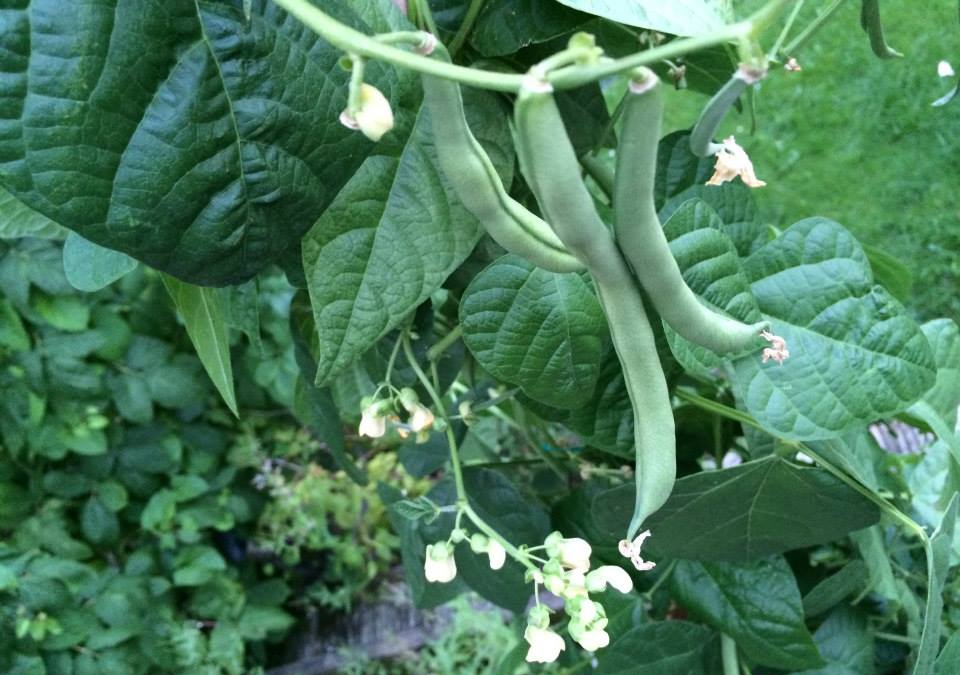 French Beans Allotment Growerallotment Grower